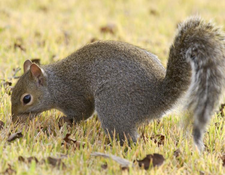 Image of a gray squirrel