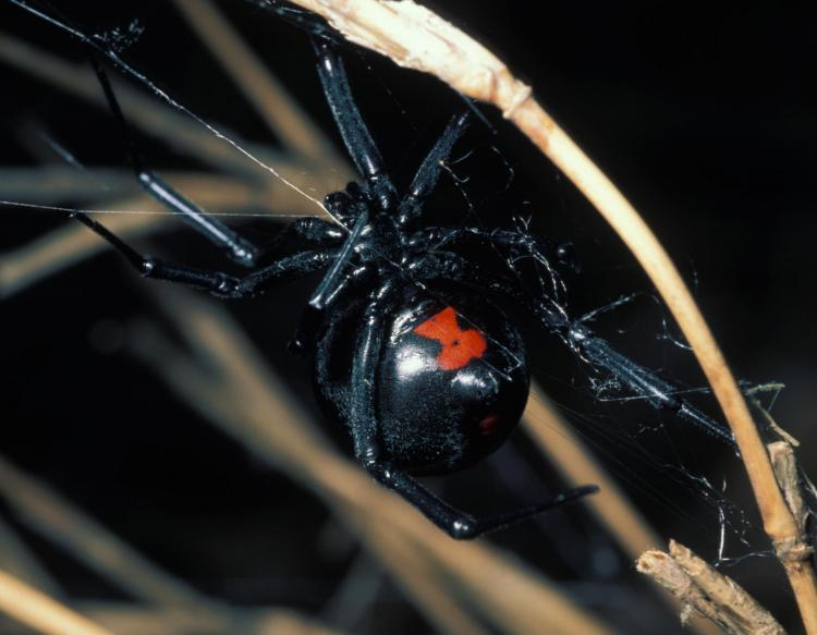 black widow spiders mdc discover nature