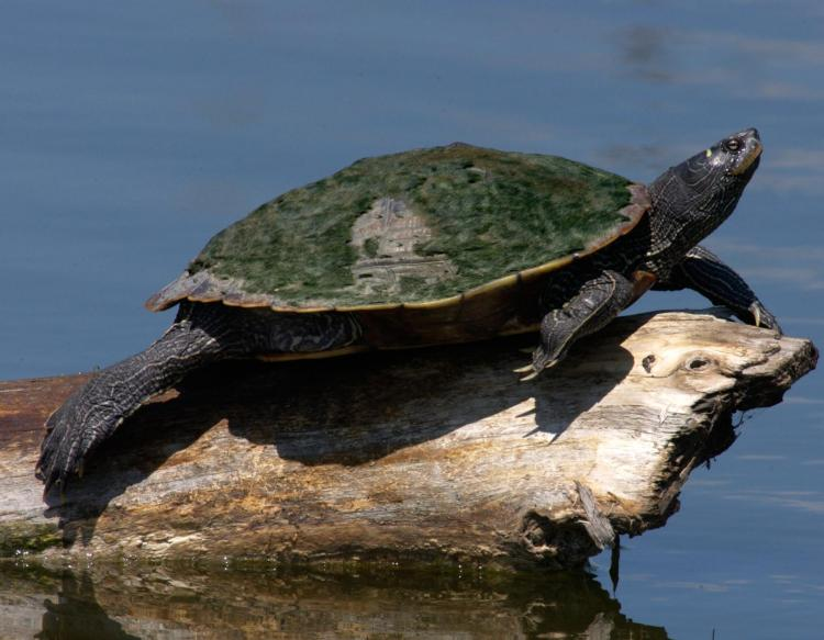 Image of a northern map turtle