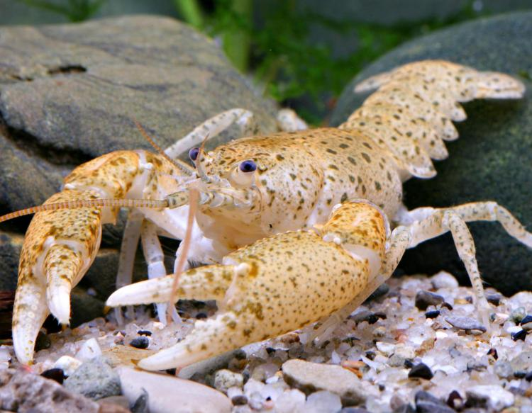 Photo of a freckled crayfish.