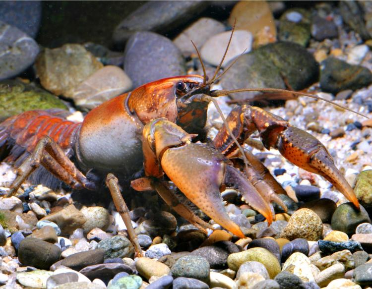 Crayfishes Mdc Discover Nature