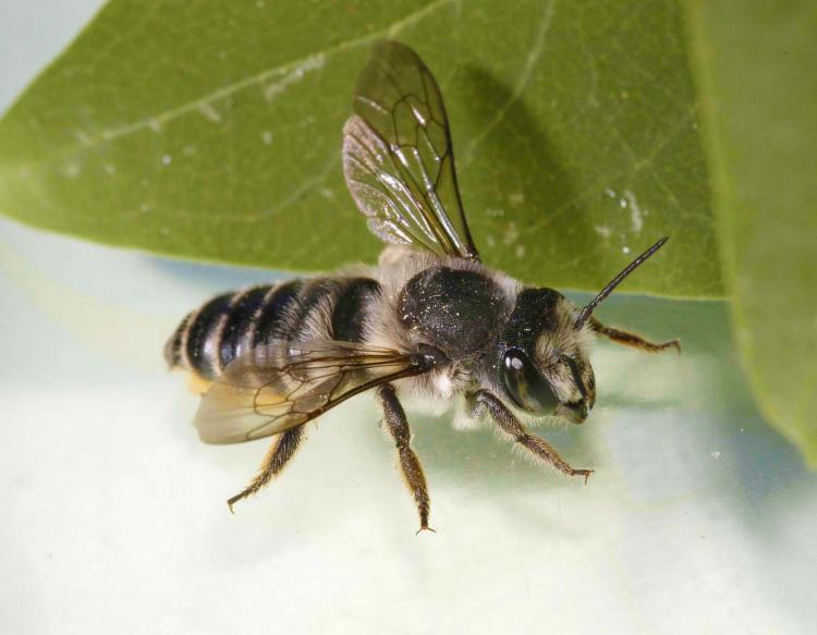 Photo Of A Leafcutter Bee