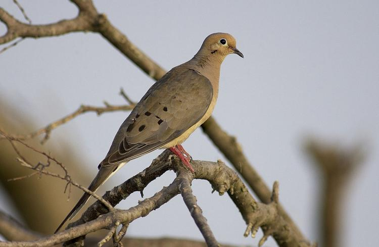 Mourning Dove | MDC Discover Nature