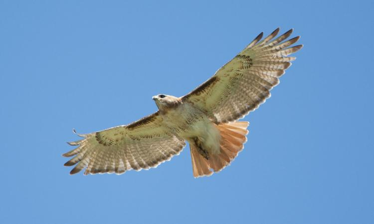 Photo of a red-tailed hawk soaring