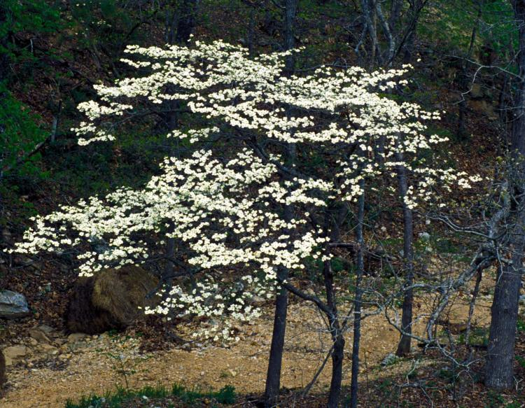 Flowering Dogwood Mdc Discover Nature