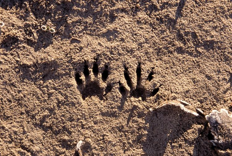 photo of raccoon tracks in a sandy river bank