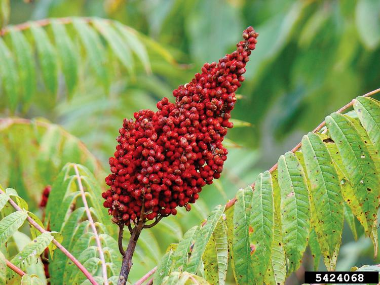 Photo of a Smooth Sumac berry cluster.