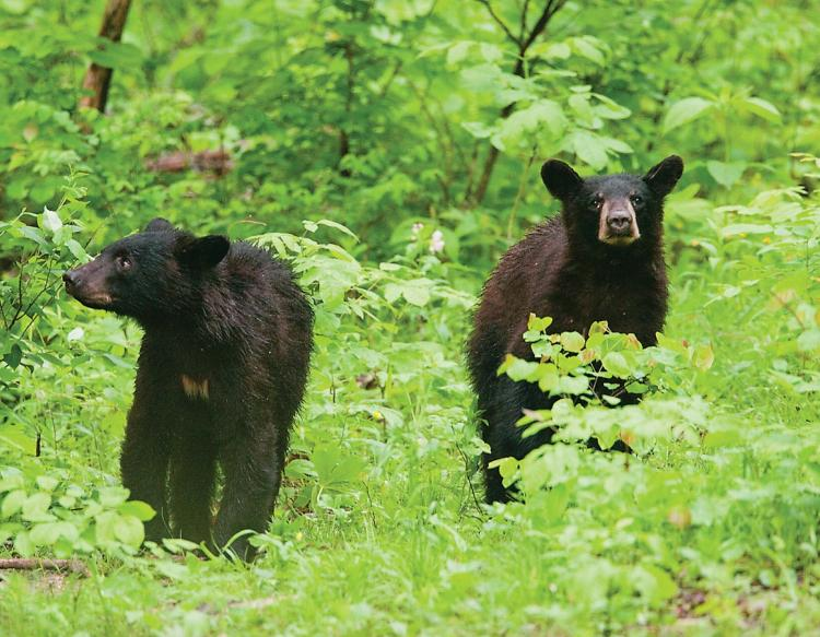 American Black Bear Mdc Discover Nature