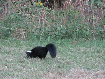 Striped Skunk at Peck Ranch Conservation Area