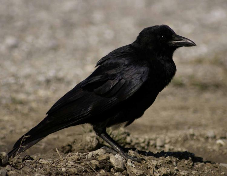 American Crow Mdc Discover Nature