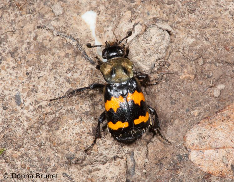 Carrion Beetles (Burying Beetles) Sexton Beetles | MDC