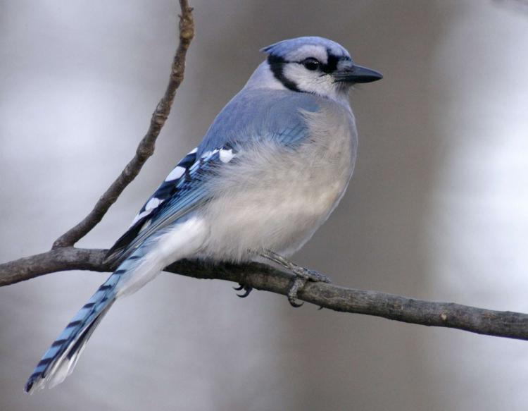 Blue Jay Mdc Discover Nature