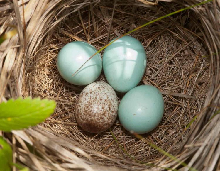 Three dickcissel eggs in a nest plus one cowbird egg