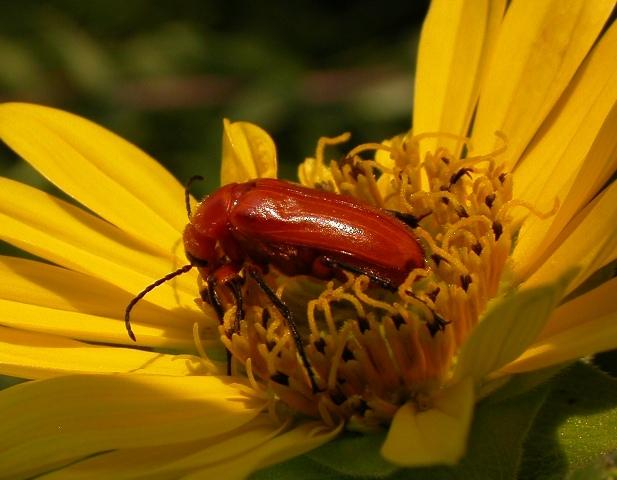 Blister Beetles | MDC Discover Nature