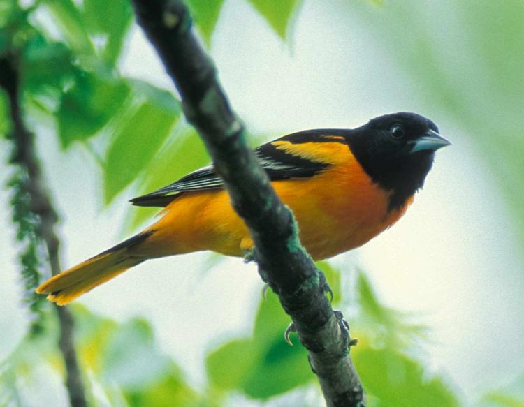 Photo of male Baltimore oriole perched on branch