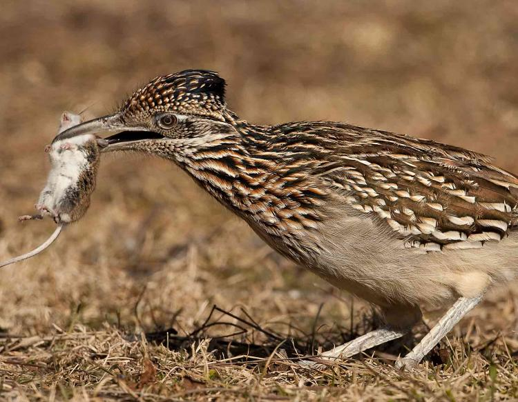 greater roadrunner mdc discover nature
