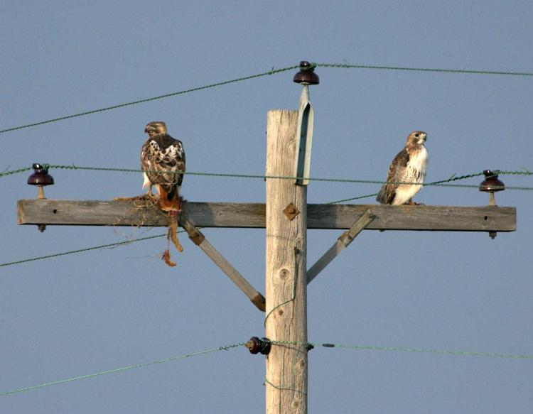 Photo of two red-tailed hawks perched on a utility pole