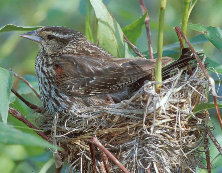 Photo of female red-winged blackbird on nest