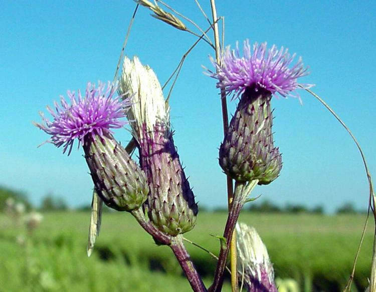 Photo of Canada thistle flowers