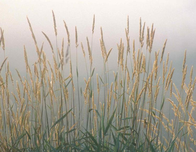 Photo of several reed canary grass plants with flowering heads