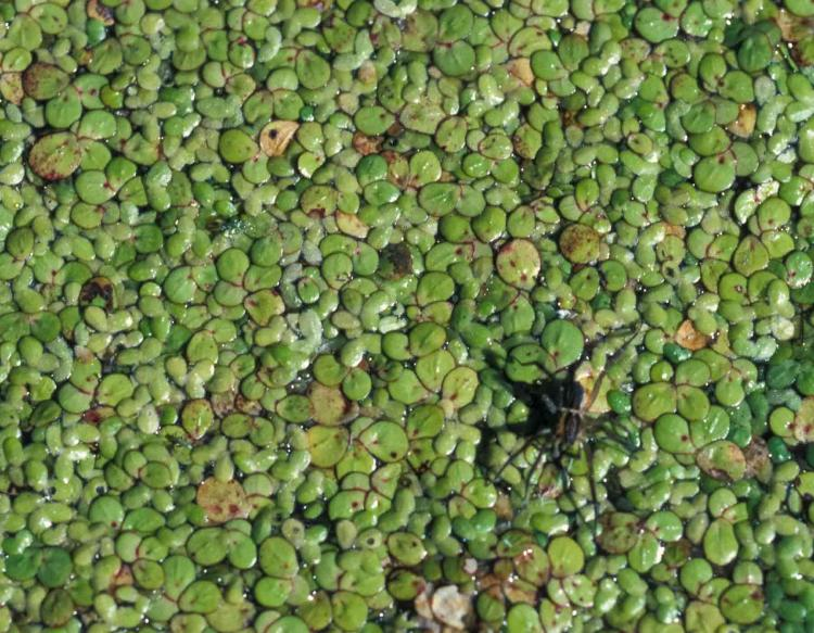 Photo of duckweed and a spotted fishing spider on the water surface