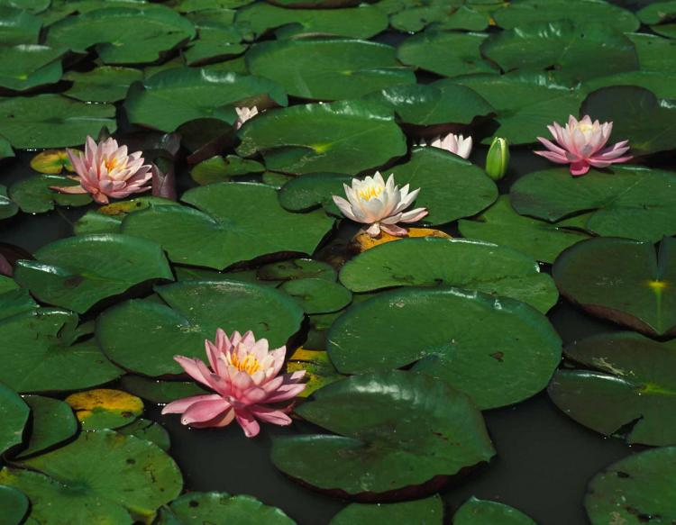 Water lilies mdc discover nature photo of water lily pads and flowers on a pond mightylinksfo