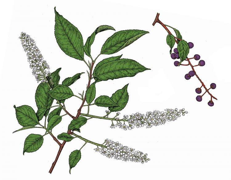 Illustration of black cherry leaves, flowers, fruits.