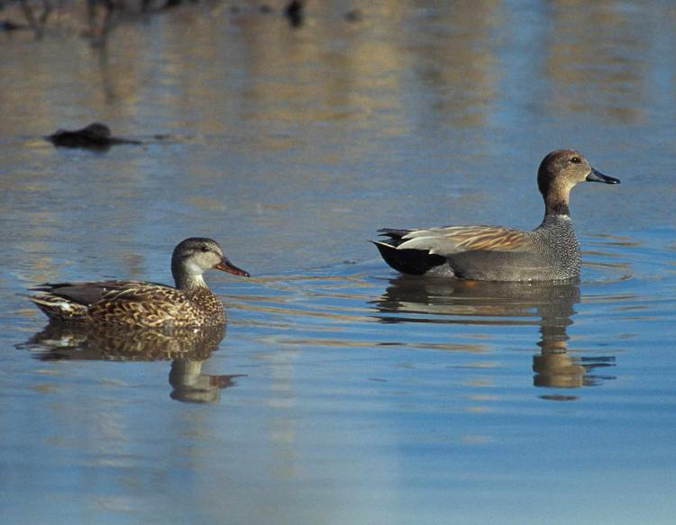 Photo of a pair of gadwall floating on water.