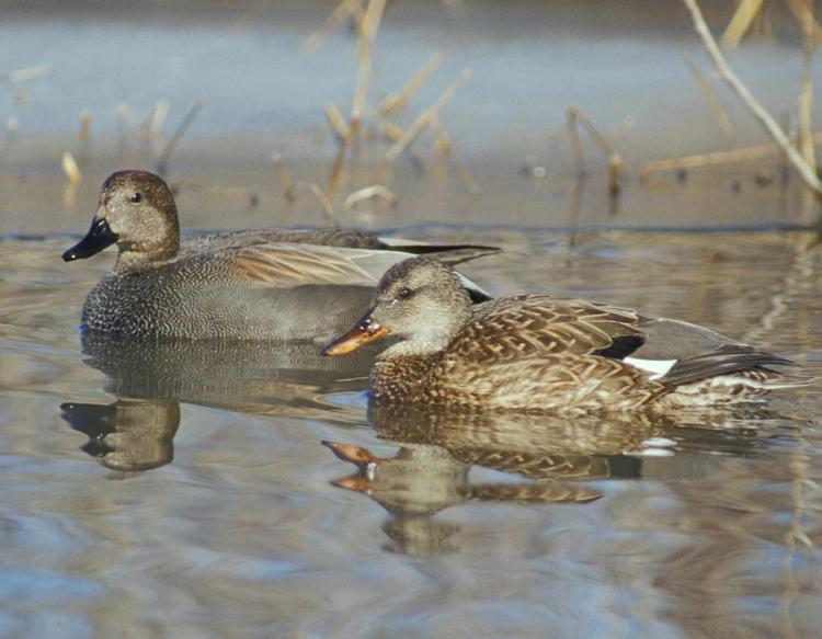 Photo of a gadwall pair floating on water.