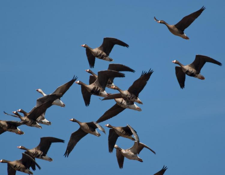 Photo of several white-fronted geese in flight.