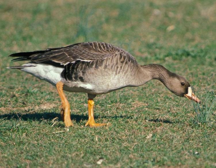 Photo of a white-fronted goose nibbling on a lawn.