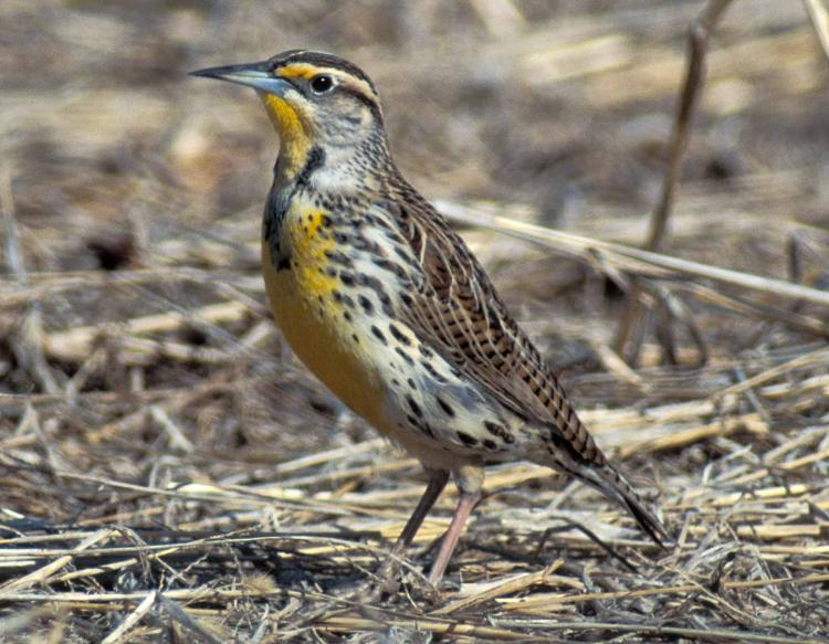 Photo of a western meadowlark walking on the ground.