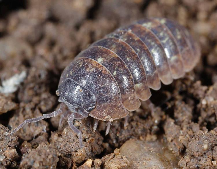 Pillbugs And Sowbugs Land Isopods Mdc Discover Nature