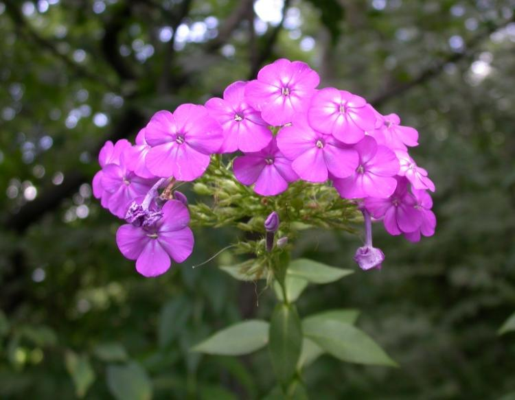 Photo of perennial or summer phlox flower cluster.