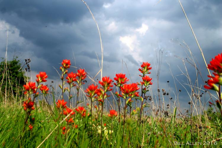 Indian Paintbrush   MDC Discover Nature