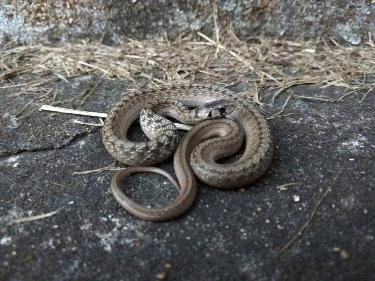 Coiled up snake. The tan stripe with black dots is visible down its back.