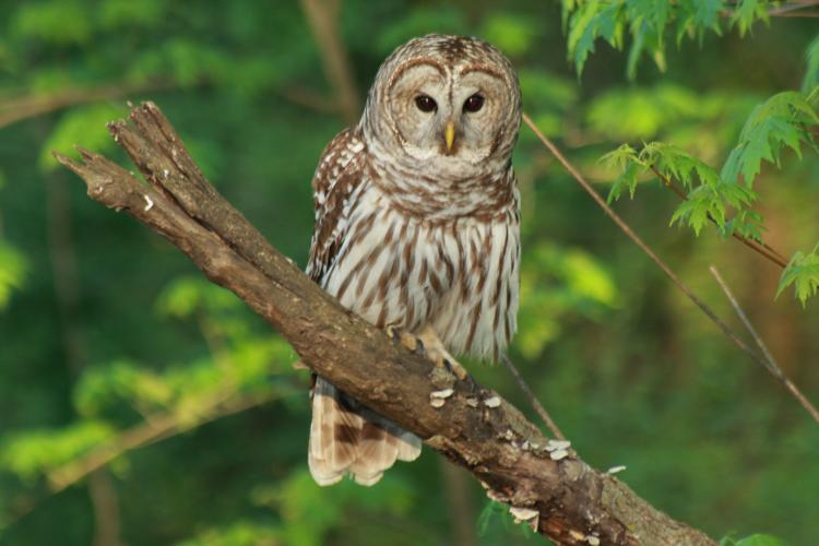 Barred Owl | MDC Discover Nature