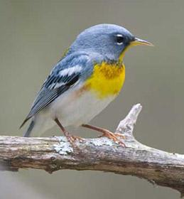 Photo of a northern parula perched on a stick