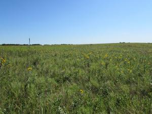 Yellow wildflowers with native grasses.