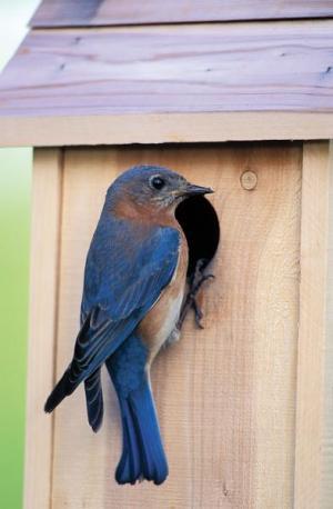 A bluebird perches at the opening of a bluebird nest box.
