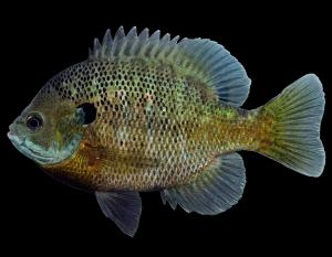 Bluegill male in spawning colors, side view photo with black background