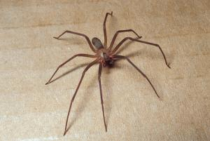 brown recluse violin spider mdc discover nature