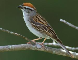 Photo of a chipping sparrow adult in breeding plumage.