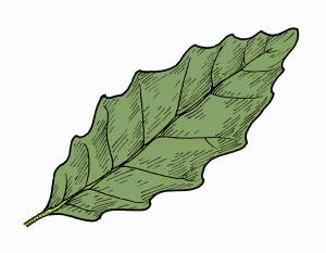 Illustration of dwarf chestnut oak leaf.
