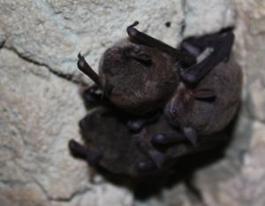 Photo of four gray myotises clinging to a cave ceiling.