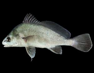 Freshwater drum side view photo with black background