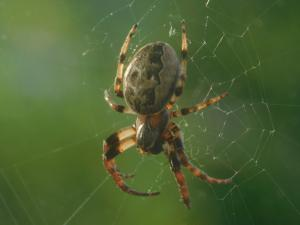 Photo of a furrow orbweaver hanging head down with a green background