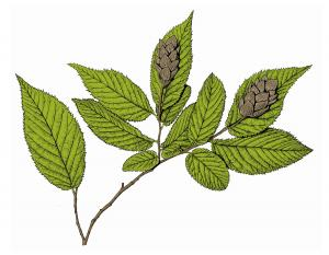 Illustration of hop hornbeam leaves, twig, fruit.