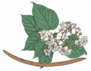 Illustration of northern catalpa leaves, flowers, fruit.