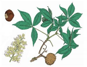 Illustration of Ohio buckeye leaves, flowers, fruits.